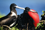Magnificent Frigatebird X Two, Male and Female Reproduction photographique