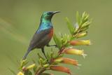 Ruwenzori Double Collared Sunbird Fotografisk tryk