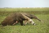 Giant Anteater in the Llanos Lámina fotográfica