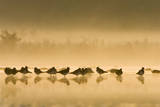 Northern Lapwing Waterlevel Silhouette of Birds Reproduction photographique