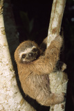 Three-Toed Sloth Lámina fotográfica