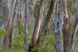 Eucalypt Forest View into a Lightly Wooded Coastal Fotografisk tryk