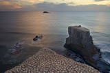 Gannet Colony Breeding Colony of the Australasian Reproduction photographique