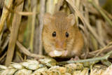 Harvest Mouse Eating Wheat Seed Lámina fotográfica