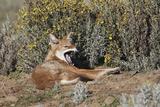 Ethiopian Wolf Lámina fotográfica