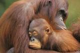 Orangutanes Lámina fotográfica