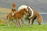 Skewbald Shetland Pony Funny Foals on Pasture Photographic Print