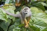 Squirrel Monkey Lámina fotográfica