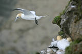 Gannet in Flight Departing from Breeding Colony Reproduction photographique