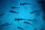 Scalloped Hammerhead Sharks These Sharks Congregate Fotografisk tryk