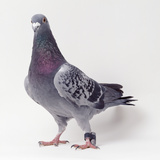 Homing Pigeon in Studio Reproduction photographique