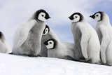 Emperor Penguin Group of Chicks Fotografie-Druck