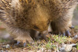 Short-Beaked Echidna Adult Digging in the Ground Fotografie-Druck