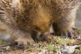 Short-Beaked Echidna Adult Digging in the Ground Lámina fotográfica