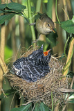 Common Cuckoo Reproduction photographique