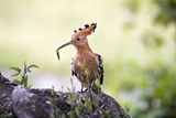 Hoopoe with Grub in Beak Reproduction photographique