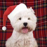 West Highland White Terrier Dog Puppy Fotografie-Druck