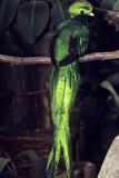 Resplendent Quetzal Reproduction photographique