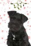 Miniature Schnauzer 10 Week Old Puppy Fotografisk tryk