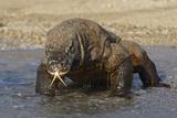 Komodo Dragon on Beach Entering Sea Fotografisk tryk