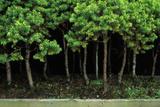 Bonsai Spruce Forest Trunks Yose-Ue Style, 12 Photographic Print