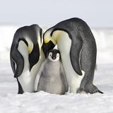 Emperor Penguin Adults with Chick Lámina fotográfica