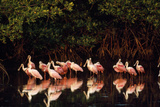 Roseate Spoonbill Reproduction photographique