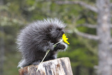 North American Porcupine Baby Holding Yellow Flower Lámina fotográfica