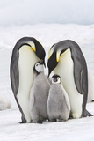 Emperor Penguin, Two Adults with Two Chicks Fotografie-Druck