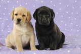 Yellow Labrador Puppy Sitting Next to a Black Photographic Print