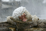 Snow Monkey in Snow Storm Fotografisk trykk