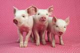 Piglets Standing in a Row on Pink Spotty Blanket Fotografie-Druck