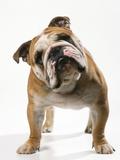Bulldog Premium fotoprint