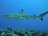 Blacktip Reef Shark Male Considered Photographic Print
