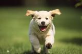 Golden Retriever Dog Puppy Running Towards Camera Fotoprint
