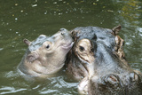 Hippopotamus Adult and Baby in Water Photographic Print