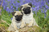 Pug Puppies Standing Together in Bluebells Lámina fotográfica