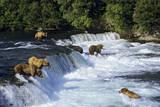 Coastal Grizzlies or Alaskan Brown Bears Fishing Reproduction photographique