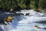 Coastal Grizzlies or Alaskan Brown Bears Fishing Fotografie-Druck
