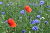 Red Poppy and Cornflowers Fotografisk trykk