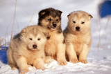 Alaskan Husky Dogs X Three Young Pups Sitting in Snow Reproduction photographique