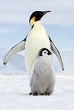 Emperor Penguin, Adult with Young Fotografisk tryk
