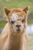 Alpaca Head of Alpaca Domesticated Camelid Fotografisk tryk