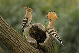 Hoopoe Reproduction photographique