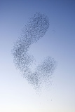 Starlings Shape Shifting Manoeuvres in the Sky Reproduction photographique