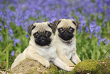 Pug Puppies Standing Together in Bluebells Reproduction photographique