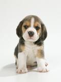 English Beagle Puppy Sitting Fotografisk tryk