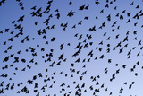 Starlings Close Up of a Mass of Birds in Flight Reproduction photographique