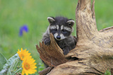 Raccoon Baby Fotografisk trykk