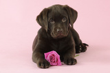 Chocolate Labrador Puppy Lying Down with Rose Photographic Print